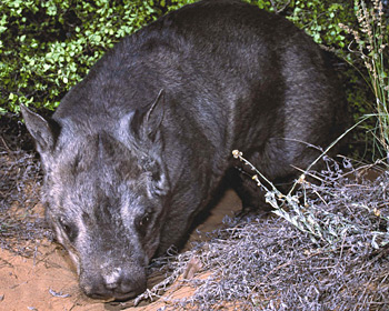 northern_hairy_nosed_wombat